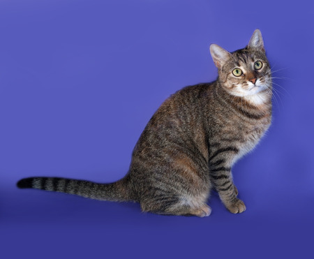 thick: Thick striped cat sitting on blue background Stock Photo