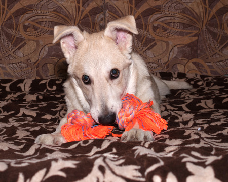 nibbles: Red puppy nibbles orange toy on colorful couch Stock Photo