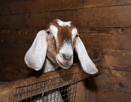 brute: Nubian brown female goat in barn Stock Photo