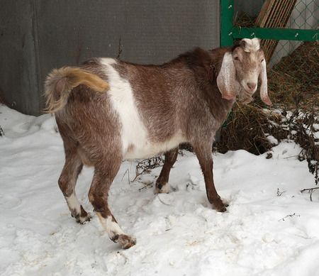 brute: Nubian brown goat standing on white snow