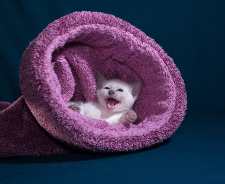 meowing: White Thai kittens meowing  in nest on blue background