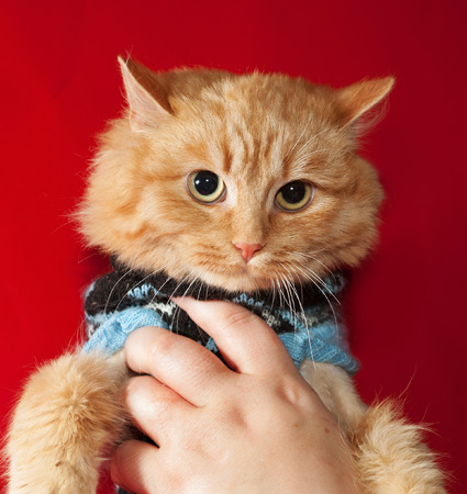 bobbed: Ginger bobbed cat in sweater on red