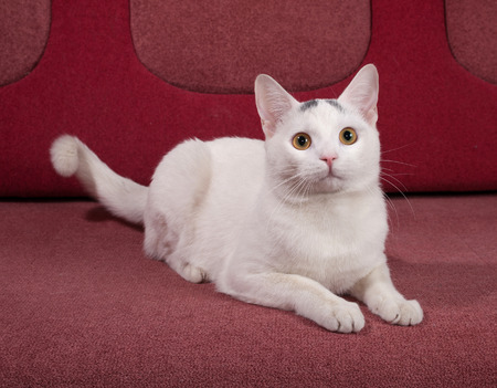 red couch: White cat with gray spots lying on red couch Stock Photo