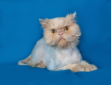 bobbed: Persian bobbed cat lies on blue background