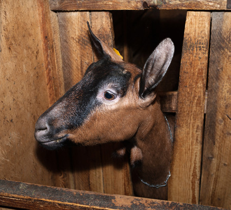 brown goat: Nubian brown goat in barn