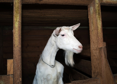 brute: Saanen white goat in barn