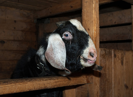 barn black and white: Nubian black and white goat male in barn