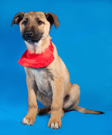 bandanna: Thin yellow puppy in red bandanna sitting on blue background