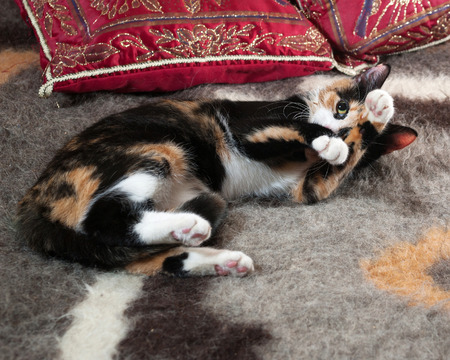 tricolor: Tricolor kitten lying on colorful blanket Stock Photo