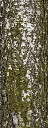 Texture of old birch tree bark covered with green moss photo
