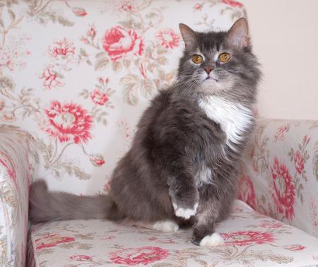 gray cat: Fluffy gray cat sitting on colorful chair