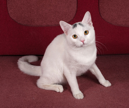 red couch: White cat with gray spots sitting on red couch