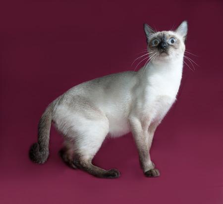 burgundy background: Thai white cat sitting on burgundy background
