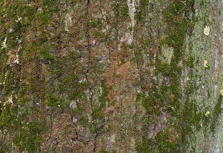 Texture of old tree bark covered with green moss photo