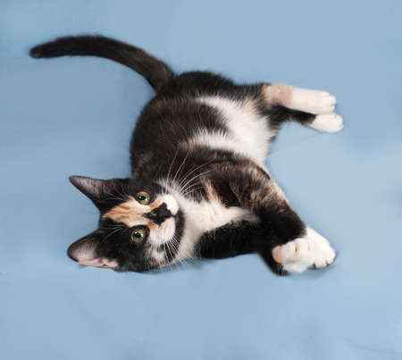 tricolor: Tricolor kitten lying on blue background