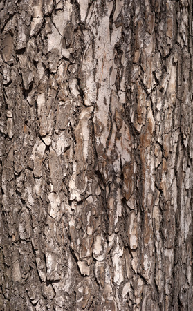 bark carving: Texture of old tree bark