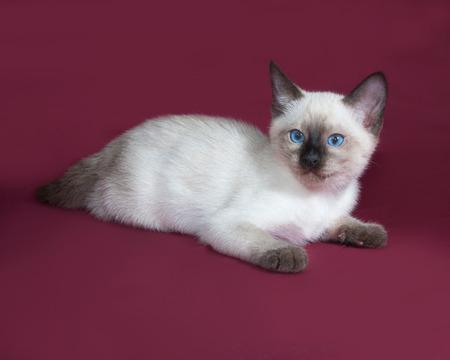 burgundy background: Thai white kitten lies on burgundy background Stock Photo