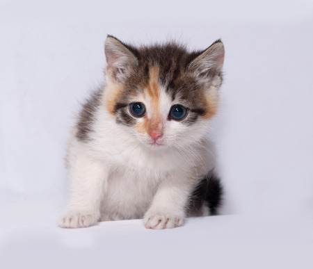 tricolor: Tricolor fluffy kitten sitting on gray background Stock Photo
