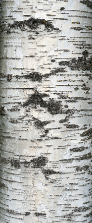 bark carving: Texture of old birchtree bark covered with green moss