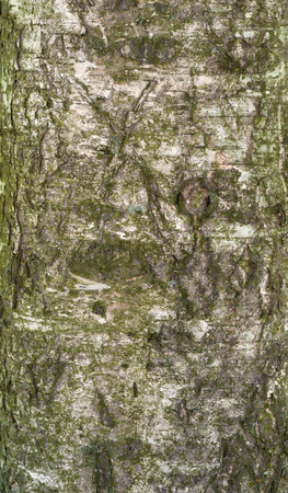bark carving: Texture of old birch tree bark covered with green moss