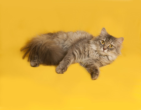 fluffy cat: Gray fluffy cat lies on yellow background Stock Photo