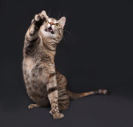 gato jugando: Tricolor Gato rayado juega en el fondo gris oscuro Foto de archivo