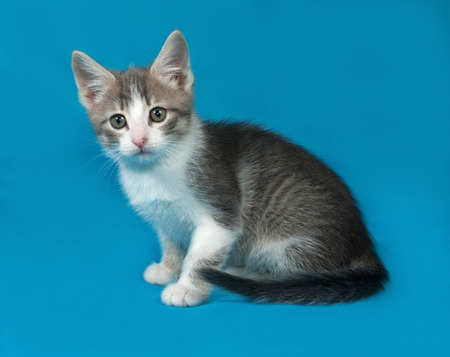 grey tabby: Grey tabby and white fluffy kitten sitting on blue background