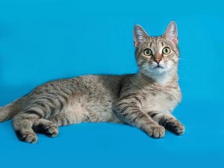 grey tabby: Grey tabby cat sitting on blue background