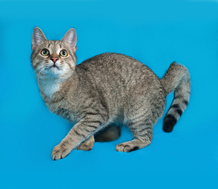 grey tabby: Grey tabby cat playing on blue background
