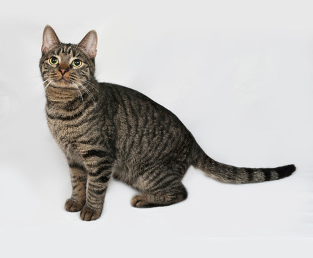 gray cat: Striped cat sitting on gray background