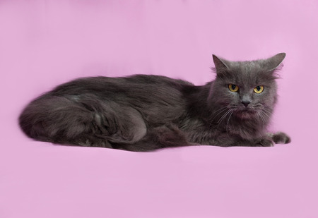 fluffy cat: Gray fluffy cat lying on pink background Stock Photo