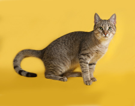 grey tabby: Grey tabby cat sitting on yellow background Stock Photo