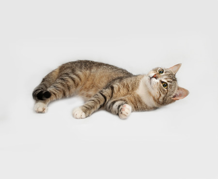 gray: Gray striped cat lies on gray background