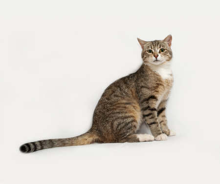 gray cat: Gray striped cat sitting on gray background Stock Photo