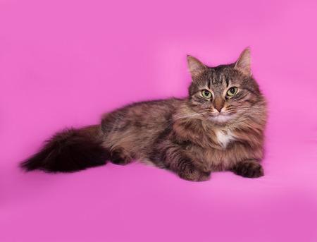 fluffy: Fluffy gato atigrado se encuentra en el fondo de color rosa