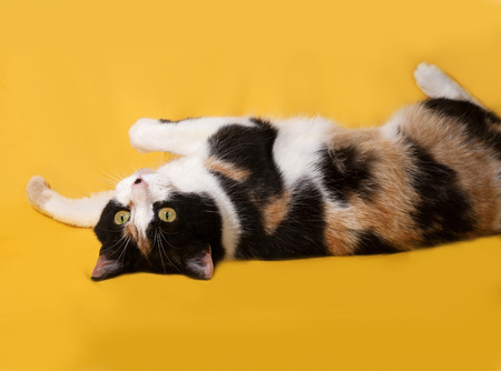 tricolor: Tricolor cat lies on yellow background Stock Photo