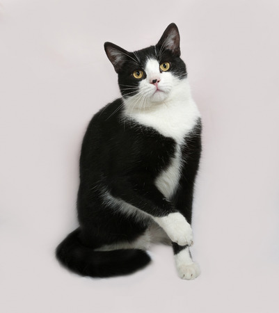 gray cat: Black and white cat sitting on gray background Stock Photo