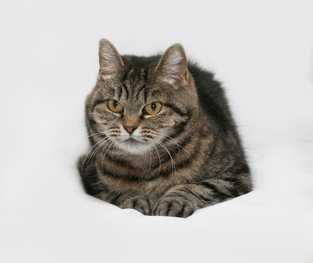 gray cat: Gray striped cat lies on gray background