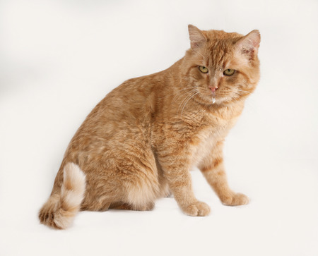 gray cat: Red cat sitting on gray background Stock Photo