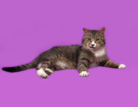 gray cat: Gray and white tabby cat lies on lilac background