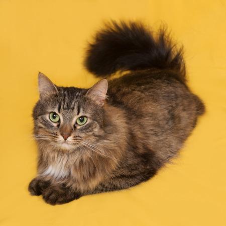 fluffy: Fluffy gato atigrado se encuentra en el fondo de color amarillo