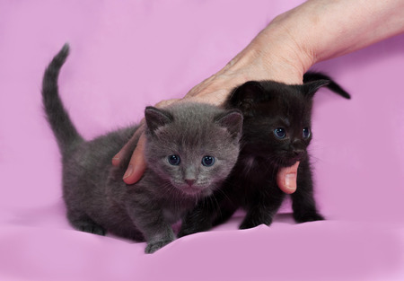 russian blue: Three kitten Russian Blue going on pink background