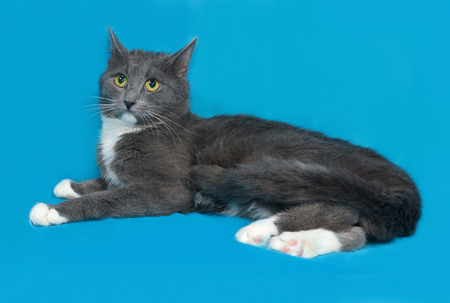 gray cat: Gray and white cat lying on blue background
