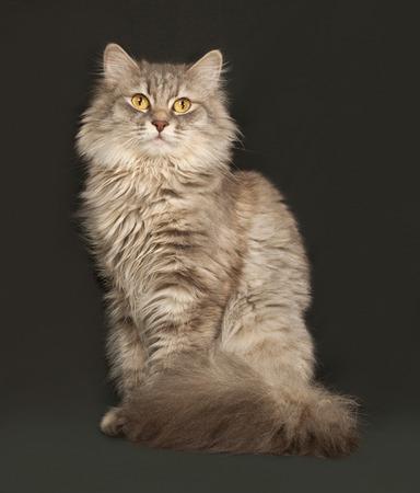 gray cat: Gray fluffy cat sits on dark gray background