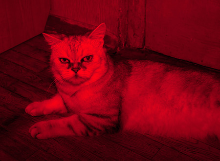 infernal: Gray cat exot lying on floor in light red lantern