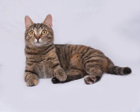 tricolor: Tricolor striped cat lies on gray background Stock Photo