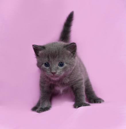 russian blue: Gray kitten Russian Blue going on pink background