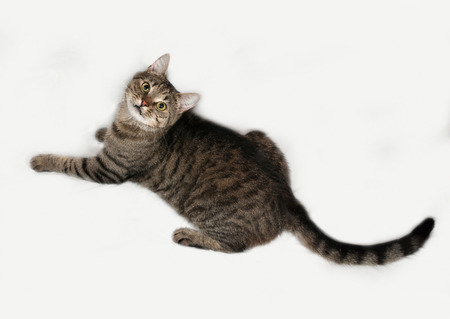 gray cat: Tabby and white cat lying on gray background Stock Photo