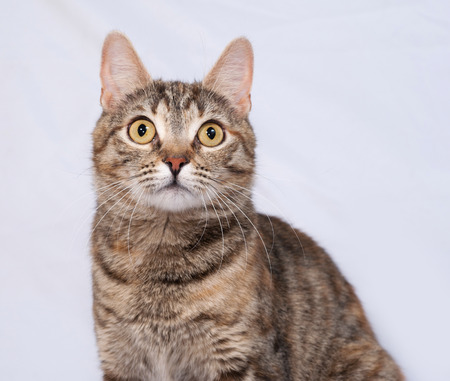 tricolor: Tricolor striped cat sitting on gray background