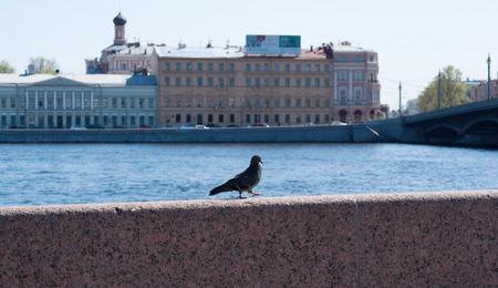 parapet: Pigeon goes on granite parapet Stock Photo